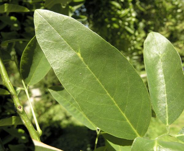 Styphnolobium japonicum (L.) Schott 'Pendulum'