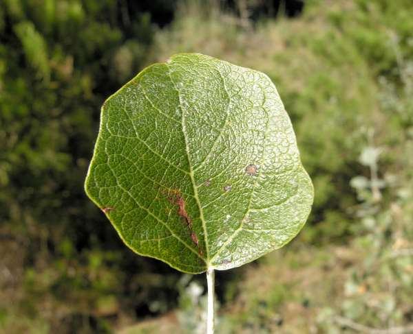 Populus alba L.