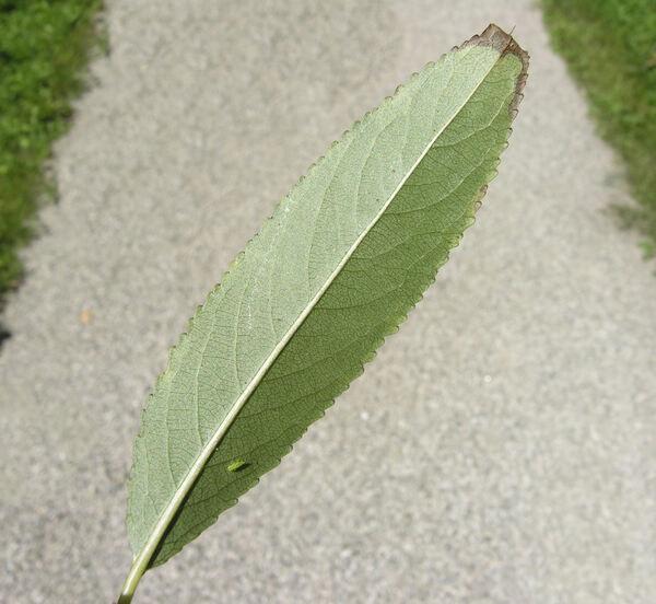 Salix ×fragilis L.