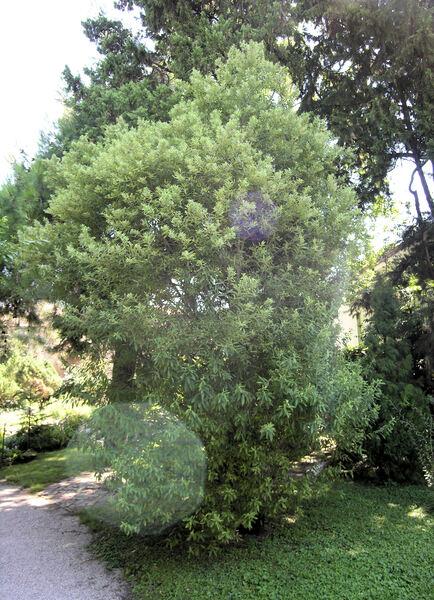 Salix x peloritana C. Presl