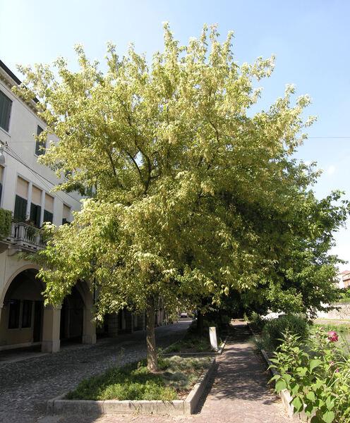 Acer negundo L. var. variegatum Jacq.