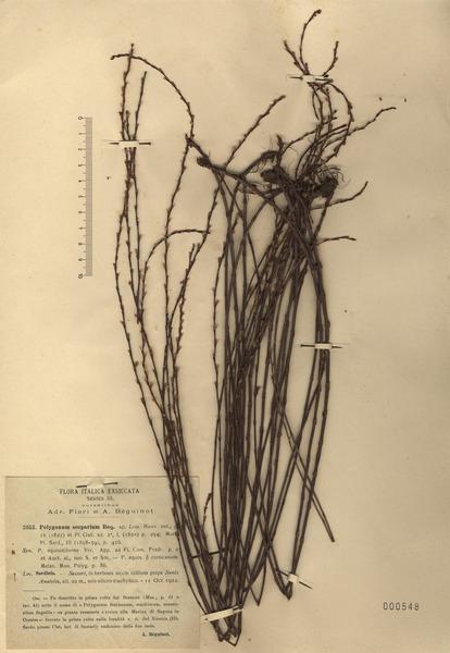 Polygonum scoparium Req. ex Loisel.