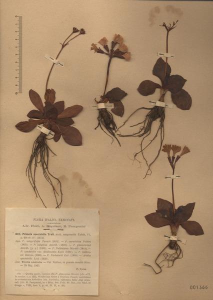 Primula polliniana Moretti