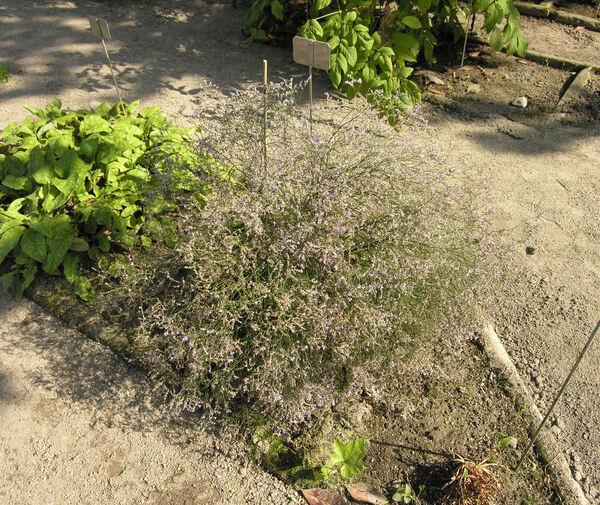 Limonium gmelinii (Willd.) Kuntze