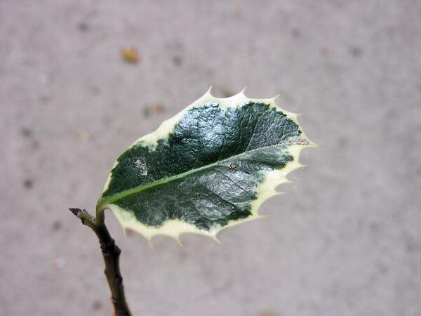 Ilex aquifolium L. 'Variegata'