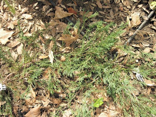 Juniperus horizontalis Moench var. glauca Hornibr.
