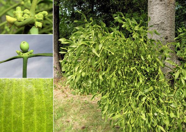 Viscum album L. subsp. abietis (Wiesb.) Abrom.