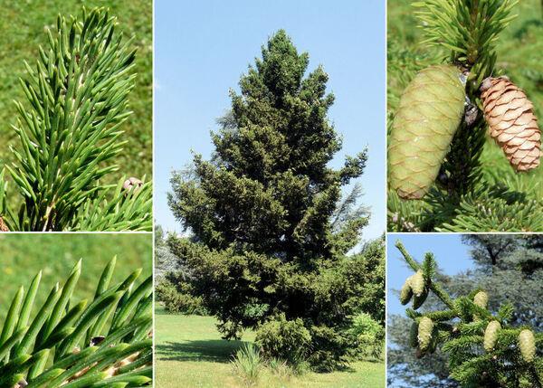 Picea wilsonii Mast.