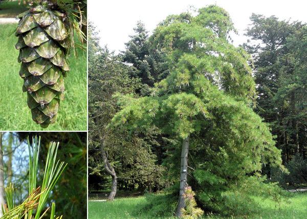 Pinus armandii Franch.