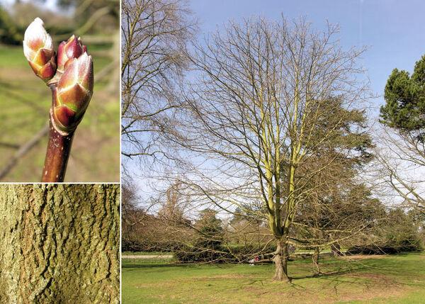 Acer macrophyllum Pursh