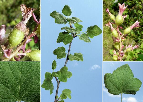Ribes sanguineum Pursh