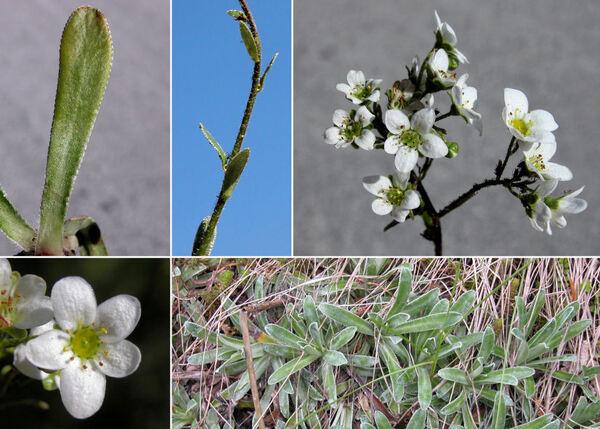 Saxifraga hostii Tausch subsp. hostii