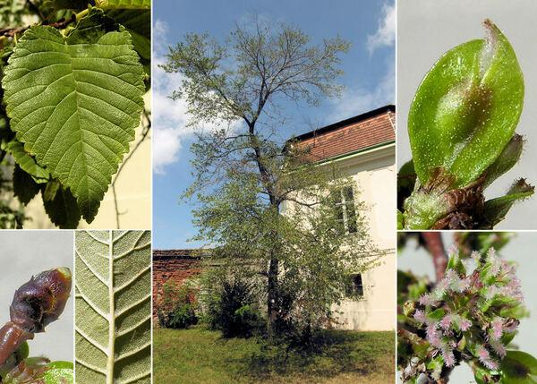 Ulmus x hollandica Mill.