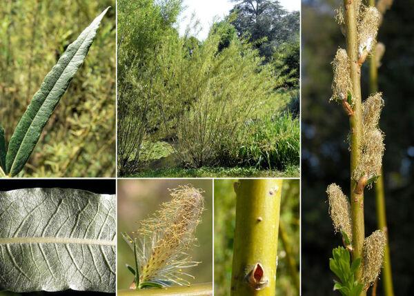 Salix viminalis L.