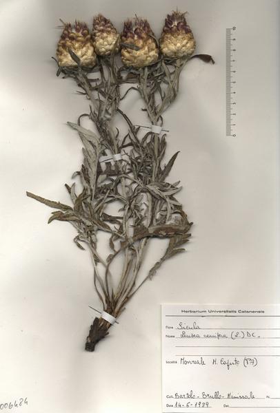 Rhaponticum coniferum (L.) Greuter