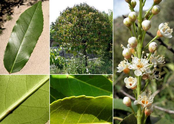 Prunus lusitanica L.