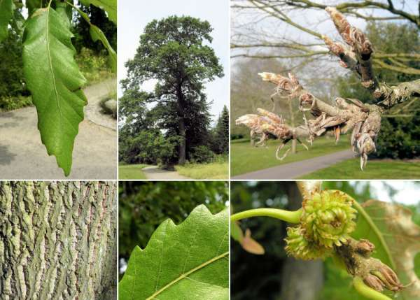 Quercus castaneifolia C. A. Mey.