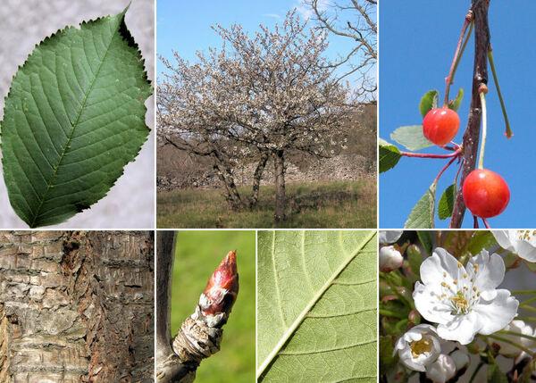 Prunus avium (L.) L.