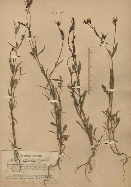 Silene muscipula L. subsp. muscipula