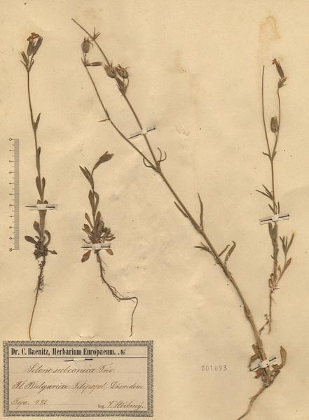 Silene subconica Friv.