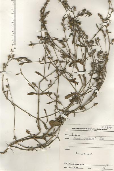Silene tenuiflora Guss.