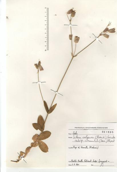 Silene vulgaris (Moench) Garcke subsp. commutata (Guss.) Hayek