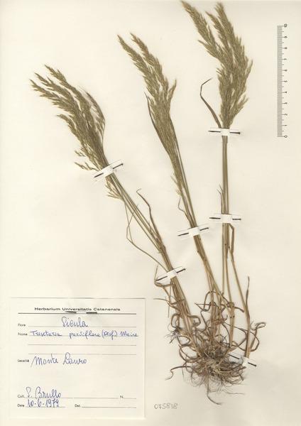 Trisetaria segetum (Savi) Soldano