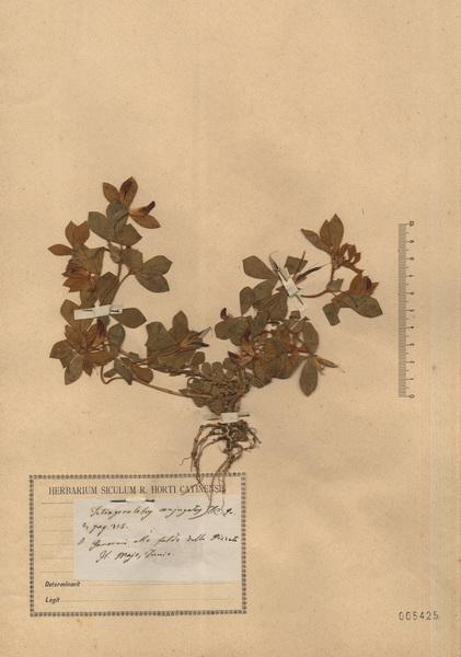 Lotus conjugatus L. subsp. conjugatus