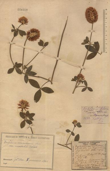 Trifolium uniflorum L. subsp. savianum (Guss.) Asch. & Graebn.