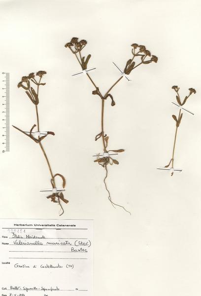 Valerianella muricata (Steven ex M.Bieb.) W.H.Baxter & Wooster