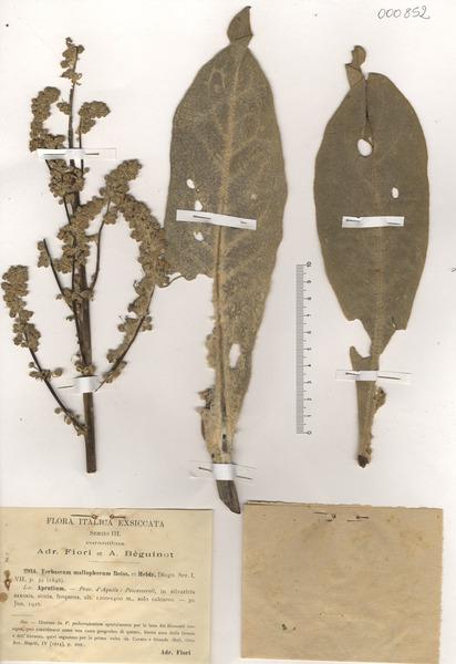 Verbascum mallophorum Boiss. & Heldr.