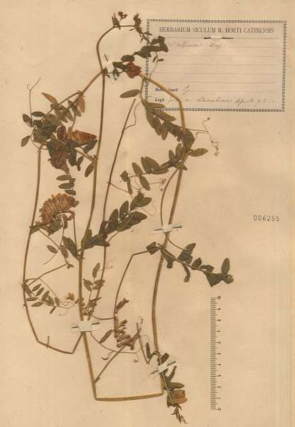 Vicia altissima Desf.