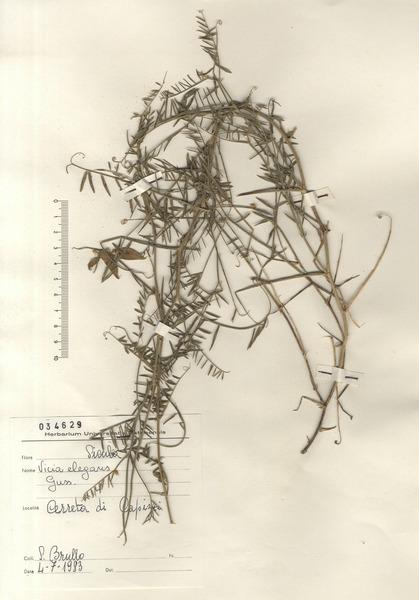 Vicia tenuifolia Roth subsp. elegans (Guss.) Nyman