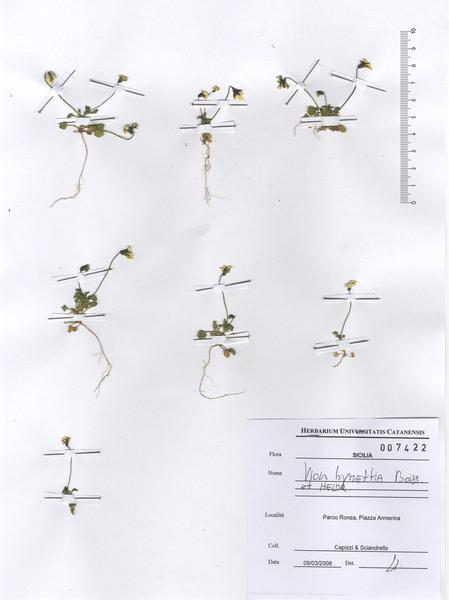 Viola hymettia Boiss. & Heldr.