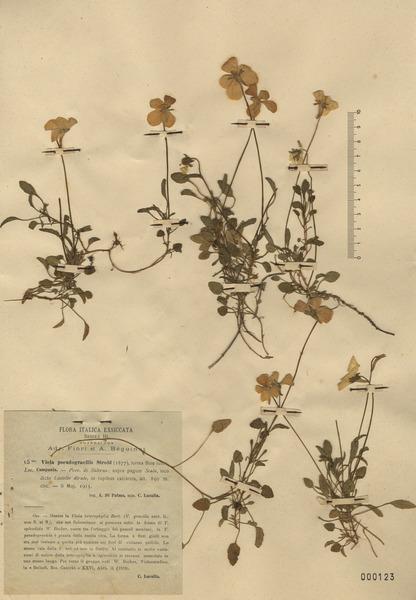 Viola cassinensis Strobl subsp. pseudogracilis (A.Terracc.) Bartolucci, Galasso & Wagens.