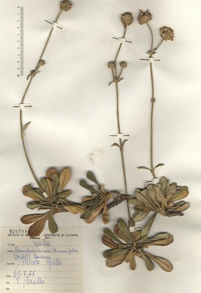 Pseudoscabiosa limonifolia (Vahl) Devesa