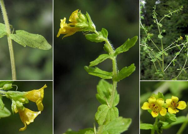Tozzia alpina L. subsp. alpina