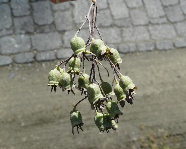 Deutzia x hybrida hort.