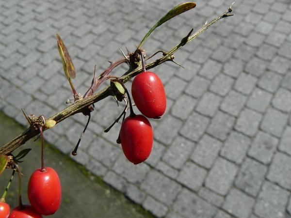 Berberis polyantha Hemsl.