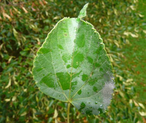 Tilia japonica (Miq.) Simonk.