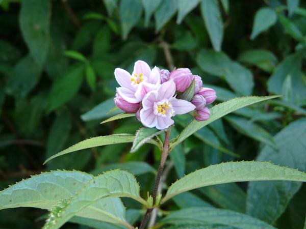 Deutzia spp.