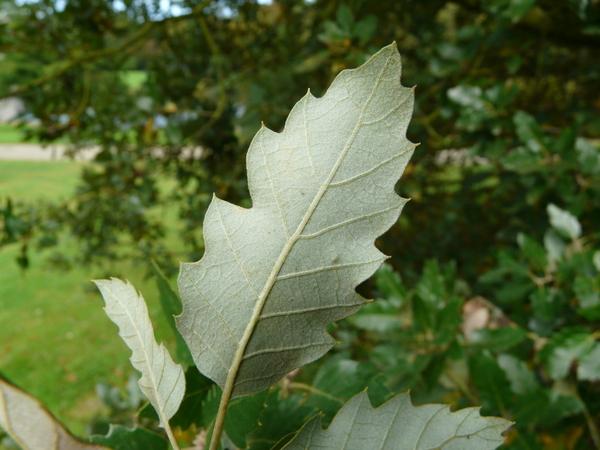 Quercus x hispanica Lam.