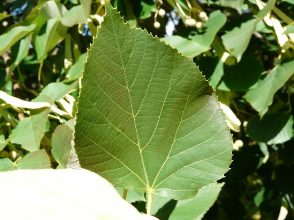 Tilia heterophylla Vent.