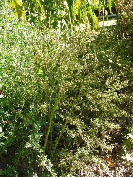 Chenopodium ficifolium Sm.