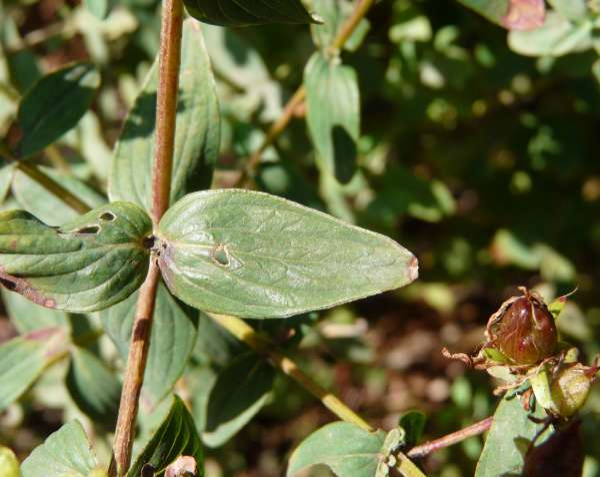 Hypericum tetrapterum Fr.