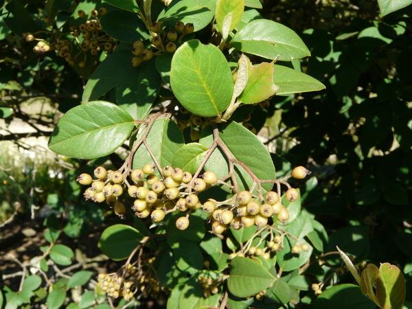 Cotoneaster meiophyllus (W.W. Sm.) G. Klotz