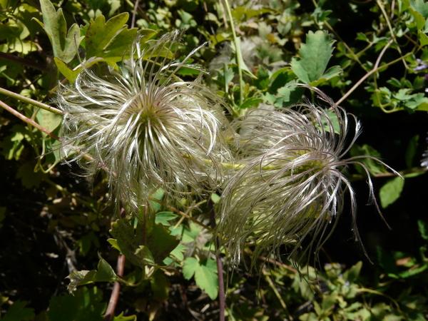 Clematis tibetana Kuntze