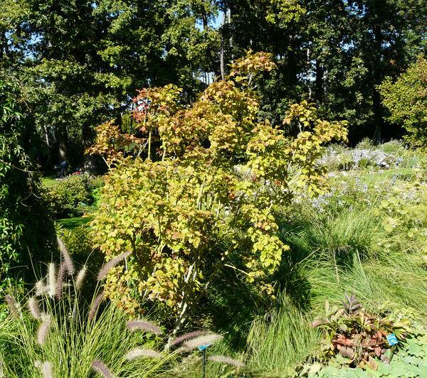 Viburnum opulus L. var. sargentii (Koehne) Takeda