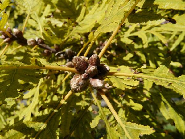 Quercus robur L. 'filicifolia'