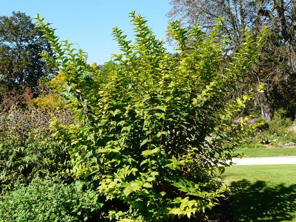 Deutzia × lemoinei Lemoine ex Bois var. compacta Lemoine
